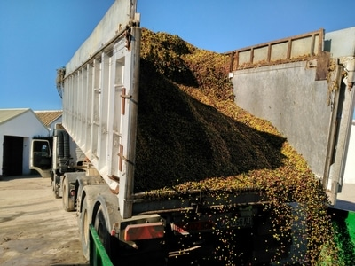lorry unloading olives in the mill